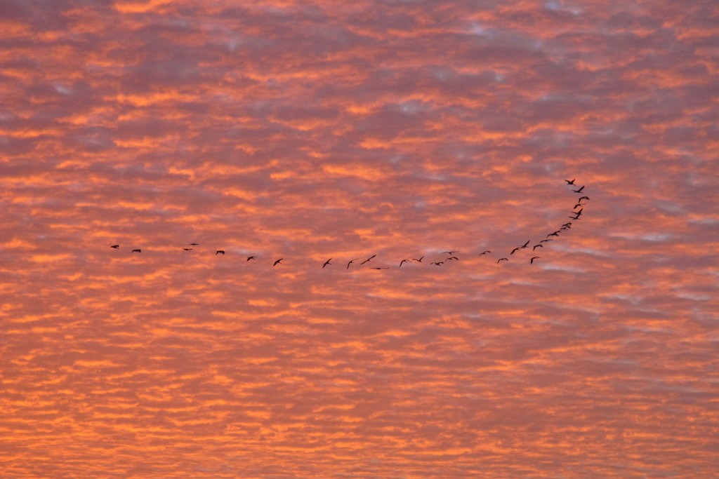 The Siberian cranes and sunrise in Phalodi