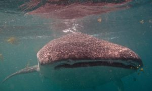 Snorkeling with whale sharks in Djibouti