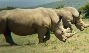 On safari with the rhinos in Kenya