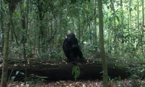 Spending the day with the chimps in Uganda's Kibale Forest