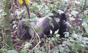 Meeting our gorilla cousins in the DRC